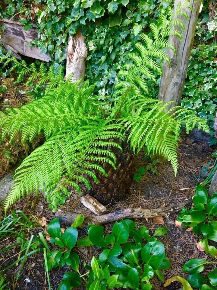 Dicksonia Antartica - tree ferns