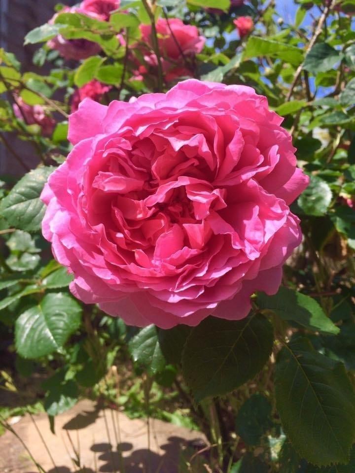David Austin Rose in full bloom