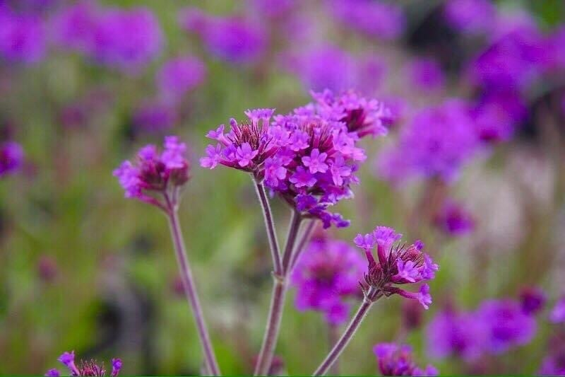 Verbena - great for height & movement